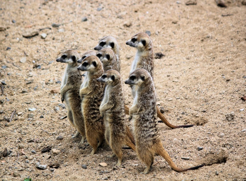 a committee of meerkats