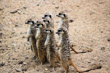 a committee of meerkats